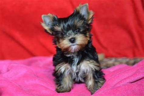 yorkies for sale in ottawa two tiny teacup yorkie puppies