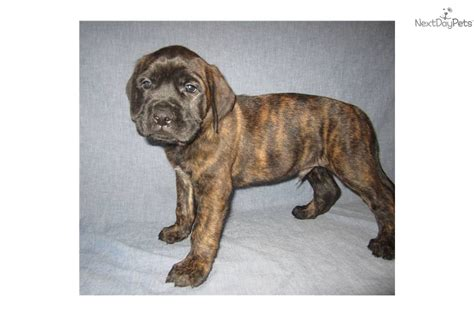 brindle mastiff puppy brindle mastiff breeds picture