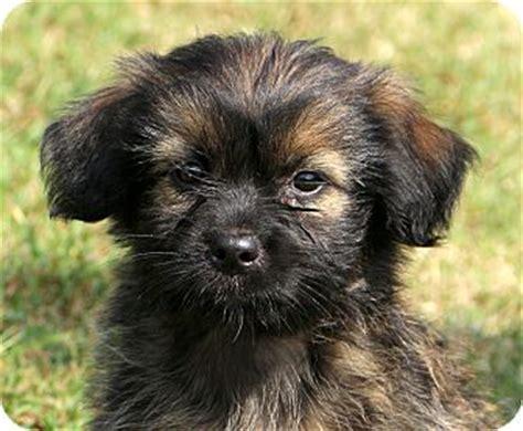 border terrier and shih tzu mix border terrier shih tzu mix puppy for adoption in glastonbury connecticut smoochy