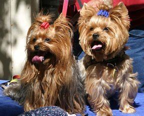 Clipping And Grooming Your Terrier grooming including clipping in leicester