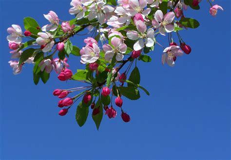immagini fiori desktop pin sfondo desktop ramo fiori on