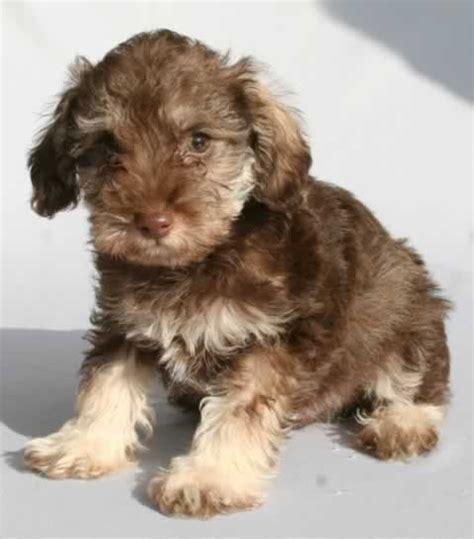 teddy puppies for sale in nc 83 best images about schnoodles i on poodles poodle mix and adoption