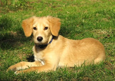 golden labrador golden retriever lab mix golden retriever dog golden retriever lab mix puppies