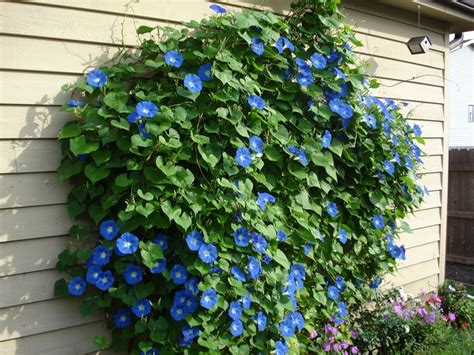 25 best ideas about blue morning glory on pinterest glory to glory morning glory plant and