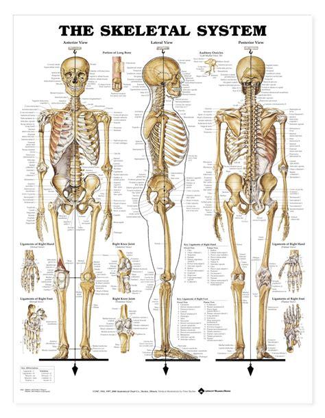 skeletal system anatomy chart skeleton poster