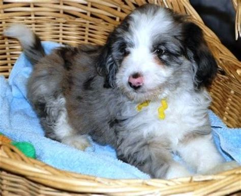 mini aussiedoodle rescue miniature aussiedoodle pups http www doodlesvilleva