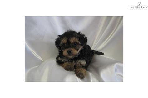 yorkie poos for sale in sc poodle puppies for sale in sc breeds picture