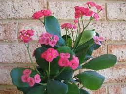 pupuk tanaman hias euphorbia  rajin berbunga