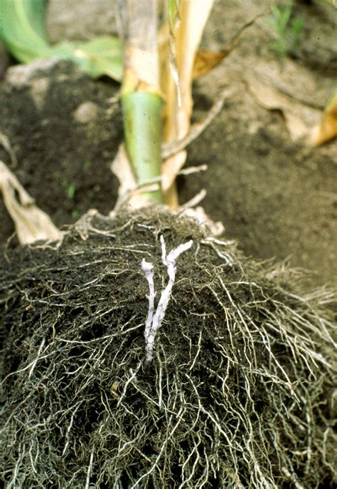the roots wikipedia file striga root connections jpg wikimedia commons