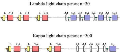 kappa and lambda light chains genetics of immunoglobulins