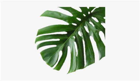 plantaverde hoja palmera hojaverde banana leaf print
