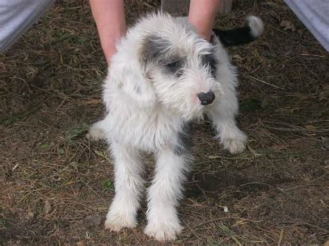 mini doodle puppies for sale in ontario best 25 miniature labradoodle for sale ideas on