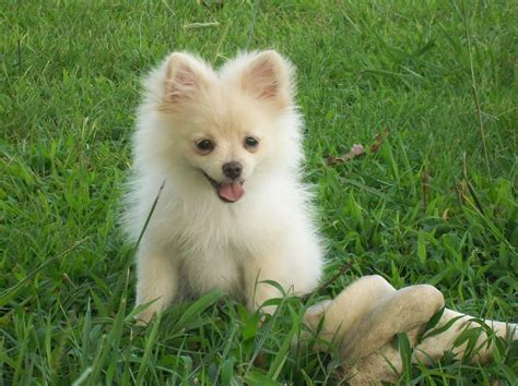 picture of pomeranian casper pomeranians gallery pomeranian pictures puppy photo