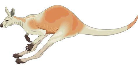sketchbook transparan kostenlose vektorgrafik k 228 nguru rot australien wei 223