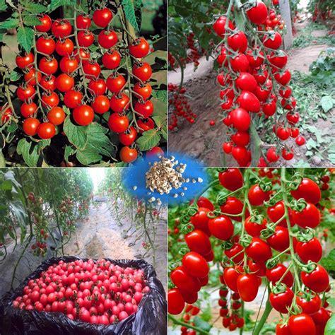 tomato tree aliexpress buy 200 pcs bag cherry tomato tomato tree