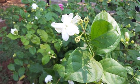 flowering shrubs of india file flower bloom on the plant near hyderabad