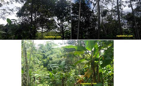 Minyak Nilam Di Jawa Tengah jual kebun dan rumah di pinggir jalan raya di kendal jawa