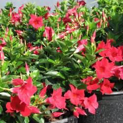 mandevilla colors mandevilla sun parasol crimson