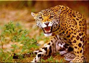 Jaguar Of Wallpaper Animal Jaguar
