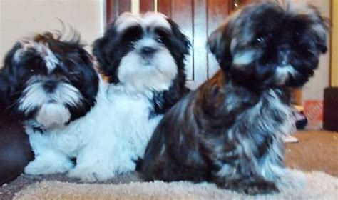 shih tzu puppies for sale in chattanooga tn 364 best images about shih tzu sweeties on