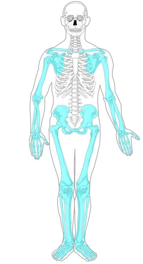 appendicular skeleton diagram file appendicular skeleton diagram blank svg wikimedia