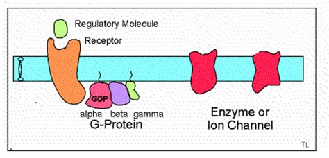 g protein coupled receptors animation gtp binding proteins