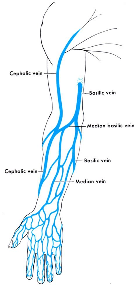 arm veins diagram erin s faces the borgias season 3 makeup