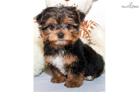 yorkie poo puppies for sale in teacup yorkie poo puppy yorkiepoo yorkie poo puppy for sale near columbus ohio