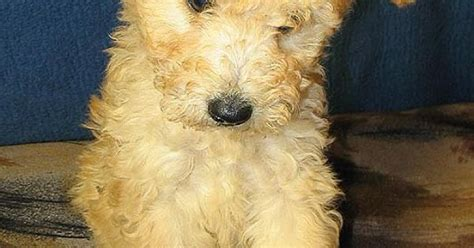 pumi puppies for sale photos pumi photo pumi vizsla hungary puppies for sale pictures
