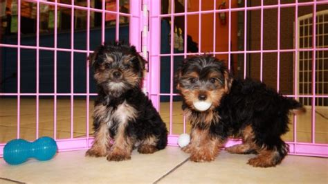 golden yorkie poo puppies for sale yorkie poo puppies for sale in atlanta ga at puppies for sale local