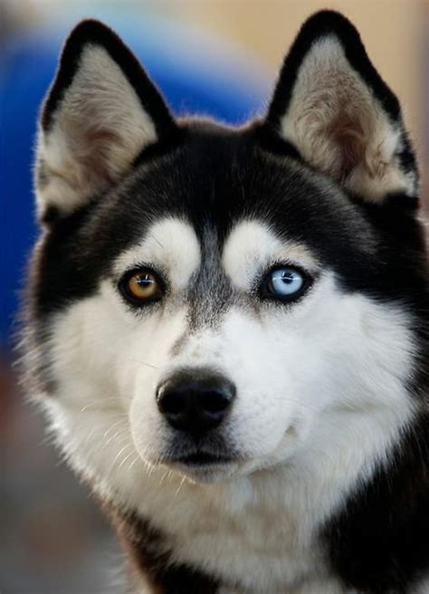 heterochromia in dogs 1000 images about heterochromia on different colored pets and green
