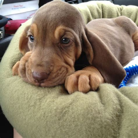 bloodhound puppy 25 best ideas about bloodhound puppies on hound puppies hound and
