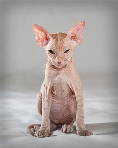Way Of The Cat 6 strange breeds of hairless cats featured creature