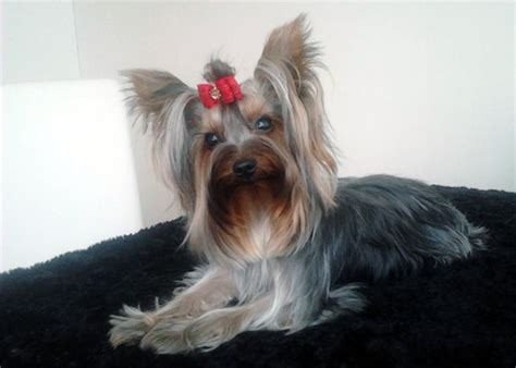 yorkie skin problems to fix terrier health problems