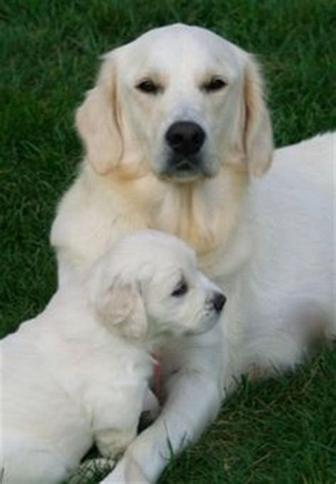 white golden retriever california white golden retriever puppies ca tx fl az dogs