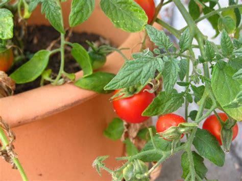 semina pomodori in vaso pomodori sul terrazzo orto in balcone coltivare