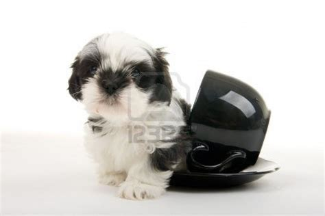 puppy black and white puppy dogs black and white shih tzu puppies