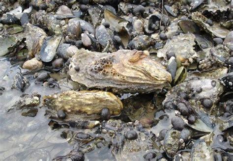 Kerang Oyster jenis jenis kerang dan gambarnya paling lengkap nama