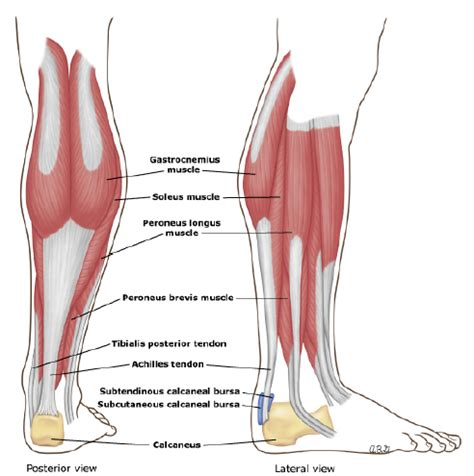 calf diagram all day i about sports the calf strain