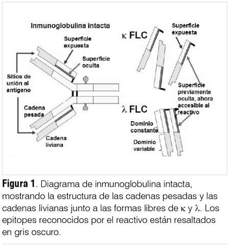 cadenas ligeras in english cadenas lambda de inmunoglobulina cadena lambda de