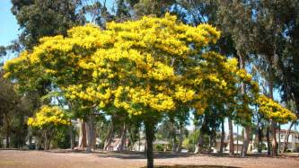 yellow poinciana tree outdoors plants and landscaping pinterest yards flowering trees