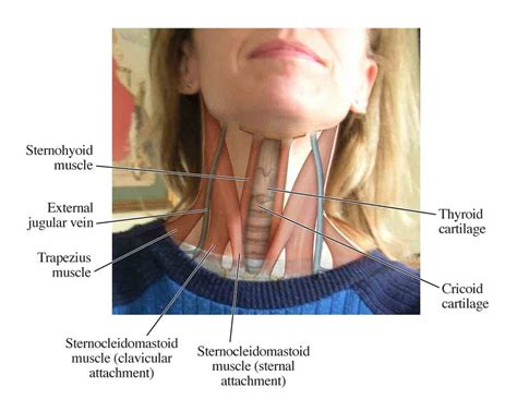 diagram of the back of the neck diagrams of back muscles diagram site