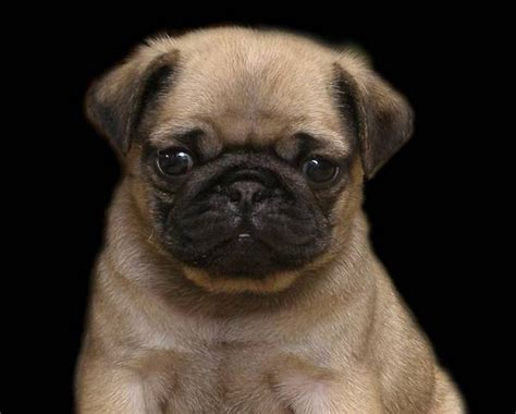 history of pug dogs pug history many