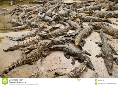 many crocodiles lying on the cement floor royalty free