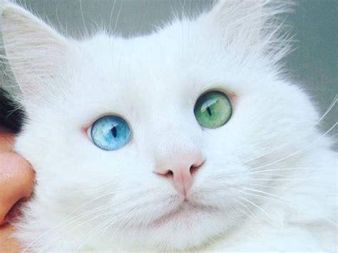 gatti con occhi diversi alos 232 lui il gatto con gli occhi di due colori pi 249