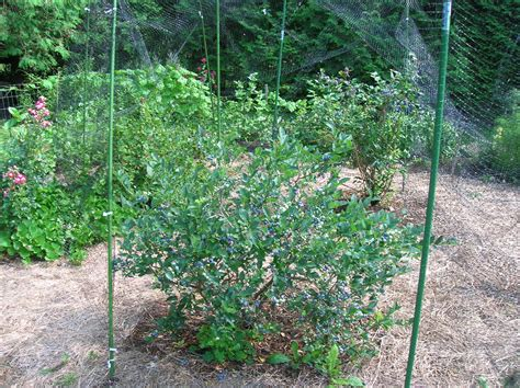 Blueberry Garden by How To Grow Blueberries Growing Blueberries Blueberry