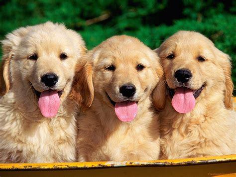 cutest golden retrievers golden retriever puppies wallpaper