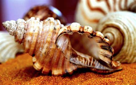 hd sea shell wallpaper