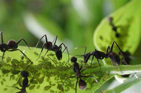 imagenes hormigas negras aprendendo mais sobre as formigas animais cultura mix