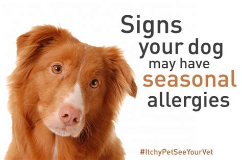 allergy to dogs 3 signs your may seasonal allergies ad itchypetseeyourvet 5 minutes for